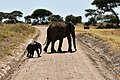 Elephants, Tarangire National Park (48) (28412291640).jpg