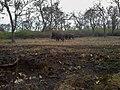 Elephants @ Mudumalai Tiger reserve - panoramio.jpg
