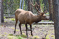 Elk in Yellowstone NP.jpg