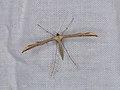 Emmelina monodactyla (36876584471).jpg
