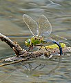 Emperor Dragonfly (Anax imperator) female laying eggs ... (34855419253).jpg