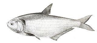 <i>Thryssa malabarica</i> species of fish