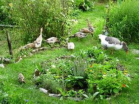 Enten und Gänse als Gartenhelfer