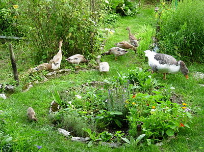 http://upload.wikimedia.org/wikipedia/commons/thumb/a/ac/Enten_und_G%C3%A4nse_als_Gartenhelfer.jpg/400px-Enten_und_G%C3%A4nse_als_Gartenhelfer.jpg