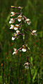 Epipactis palustris - inflorescence 01.jpg