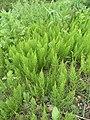 Equisetum arvense 117578473.jpg