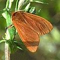 Erebidae - Phragmatobia fuliginosa-001.JPG