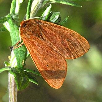 Phragmatobia fuliginosa - Image: Erebidae Phragmatobia fuliginosa 001
