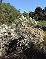 Eriogonum giganteum kz1.jpg