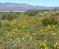 Eschcholzia glyptosperma field.jpg