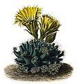 Escobaria missouriensis ssp missouriensis BlKakteenT5.jpg
