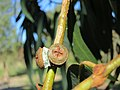 Eucalyptus bicostata IMG 1126 (7284517772).jpg