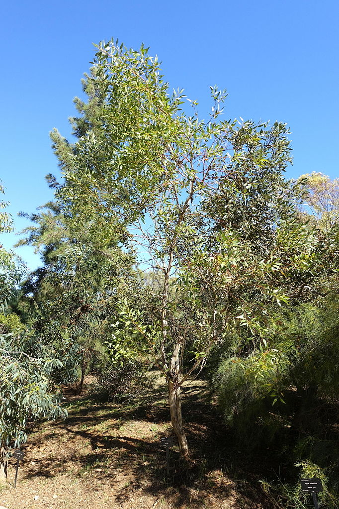 File eucalyptus incrassata jard n bot nico de barcelona for Barcelona jardin