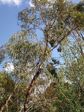 Eucalyptus polybractea - Eucalyptus polybractea Melbourne