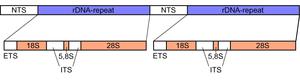 Ribosomal DNA - Image: Eucaryot rdna