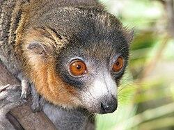 Eulemur mongoz (male - face).jpg