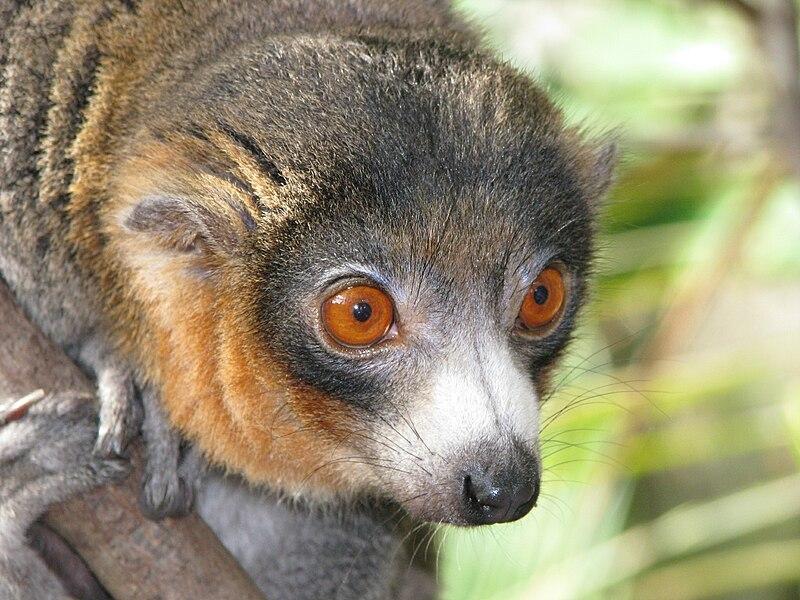 Lemurs generally have a wet nose, or rhinarium