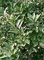 Euonymus japonicus2.jpg