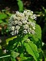 Eupatorium perfoliatum 0003.JPG