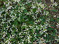 Euphorbia Diamond Frost.JPG