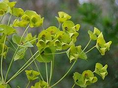 Euphorbia helioscopica flowers.jpg