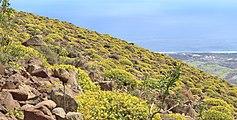 Euphorbia lamarckii 005.jpg