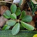 Euphorbia primulifolia - panoramio.jpg