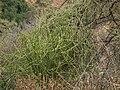 Euphorbia tirucalli, Flora of Tanzania 4517 Nevit.jpg