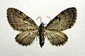 Eupithecia trisignaria01.jpg
