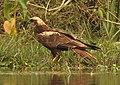 Eurasian Marsh Harrier Circus aeruginosus by Dr. Raju Kasambe DSCN2872 (33).jpg