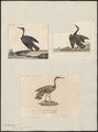 Eurypyga solaris - 1700-1880 - Print - Iconographia Zoologica - Special Collections University of Amsterdam - UBA01 IZ17300149.tif