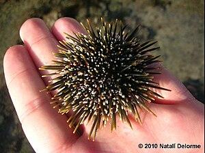 Kina (animal) - Medium size Evechinus chloroticus from Whangaparaoa Peninsula, New Zealand.