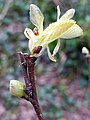Fagales - Quercus robur - 60.jpg