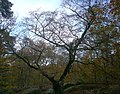 Fagus sylvatica forêt Fontainebleau.jpg
