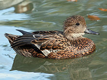 Falcated Duck (Anas falcata) RWD3.jpg