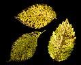 Fall Leaf Scan (15428864101).jpg