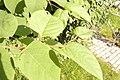 Fallopia japonica (2).jpg