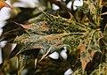 False Holly Osmanthus heterophyllus 'Goshiki' Leaf 1518px.jpg