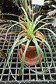 Fascicularia bicolor - Lyman Plant House, Smith College - DSC01978.jpg