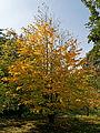 Feeringbury Manor garden autumn tree, Feering Essex England.jpg