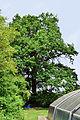 Feldbach-Gniebing - Naturdenkmal 518 - Stieleiche (Quercus robur) - III.jpg