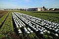 Feldkirchen Salat 03.jpg