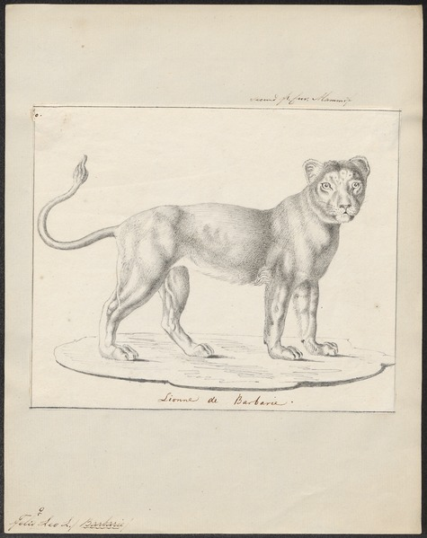 File:Felis leo - 1818-1842 - Print - Iconographia Zoologica - Special Collections University of Amsterdam - UBA01 IZ22100061.tif