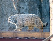 Felis manul in moscow zoo