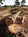 Felled tree on Ferndown common - geograph.org.uk - 1132766.jpg