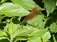 Female Calopteryx splendens in Rusenski Lom Nature Park.jpg