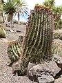 Ferocactus gracilis - Oasis Park botanical garden - Fuerteventura.jpg