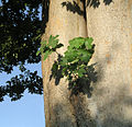 Ficus-carica-on-Zelkova.jpg