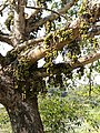 Ficus auriculata - Stem with fruits.jpg