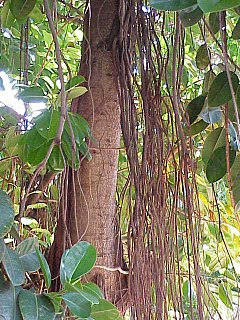 Ficus elastica wikipedia la enciclopedia libre for Significado de ornamental wikipedia